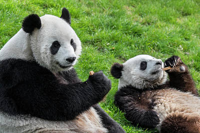 Photograph - Pandas Eating Cookies by Arterra Picture Library