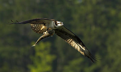 Quebec Fauna Photograph - Pandion Haliaetus by Mircea Costina Photography