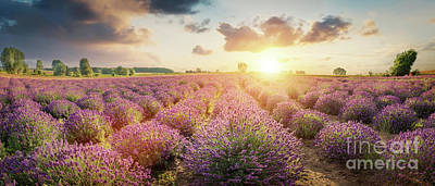 Photograph - Panorama Of Lavender Flower Field At Sunset by Michal Bednarek