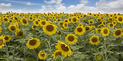 Texas Sunflower Photograph - Panorama Of Texas Sunflowers In Late June by Rob Greebon