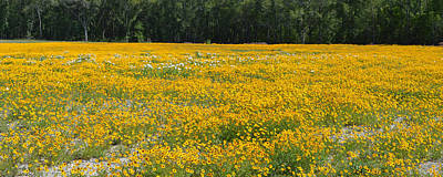 Photograph - Panoramic Field Of Yellow by rd Erickson