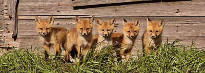 Panoramic Fox Kits Print by Mark Duffy