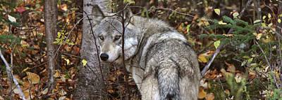Animals Digital Art - Panoramic Gray Wolf Yukon by Mark Duffy