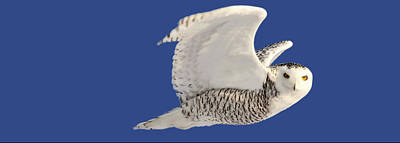 Snowy Digital Art - Panoramic Prairie Snowy Owl  by Mark Duffy