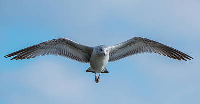 Photograph - Panoramic Seagull Wings by Jeff at JSJ Photography
