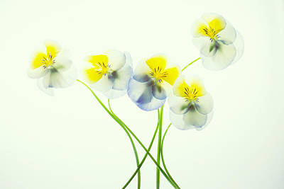 Photograph - Pansies 1 by Rebecca Cozart