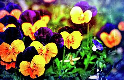 Photograph - Pansies 12 by Pamela Cooper