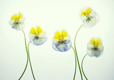 Photograph - Pansies 2 by Rebecca Cozart