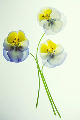 Photograph - Pansies 3 by Rebecca Cozart