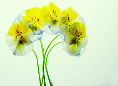 Photograph - Pansies 4 by Rebecca Cozart
