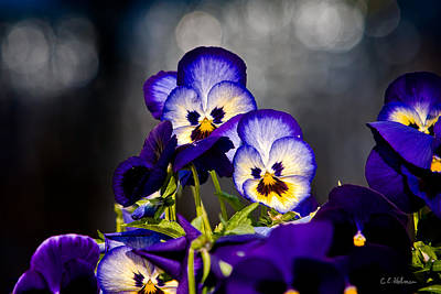 Photograph - Pansies by Christopher Holmes