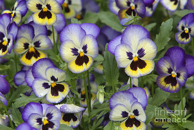 Johnny Jump Up Pansy Photograph - Pansies by CJ McKendry