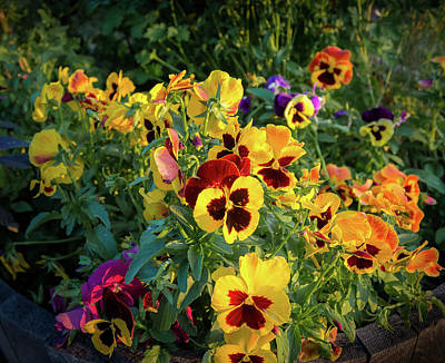 Photograph - Pansies by John Brink