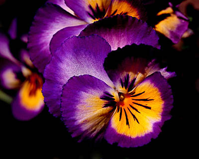 Yellow Flower Photograph - Pansies by Rona Black