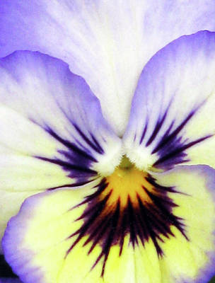 Firefighter Patents Royalty Free Images - Pansy 01 - Thoughts of You Royalty-Free Image by Pamela Critchlow