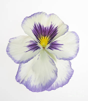 Genus Photograph - Pansy 2 by Tony Cordoza