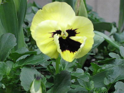 Photograph - Pansy by AJ Brown