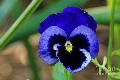 Photograph - Pansy Beauty by Donna Brown