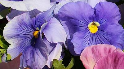 Photograph - Pansy Delight by Bruce Bley