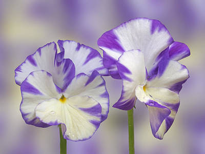 Photograph - Pansy Faces by Gill Billington