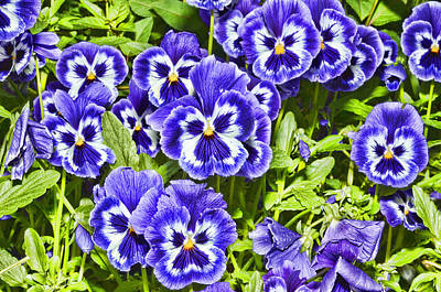 Photograph - Pansy Faces by Lawrence Christopher