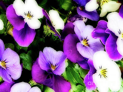 Photograph - Pansy Flowers by Vizual Studio