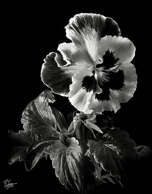 Pansy In Black And White Art Print