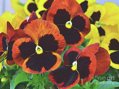Photograph - Pansy Joy by Debby Pueschel