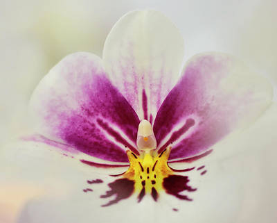 Photograph - Pansy Orchid by Carol Eade