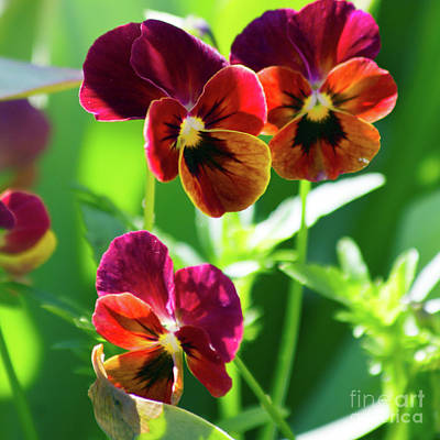 Photograph - Pansy Passion by Alycia Christine