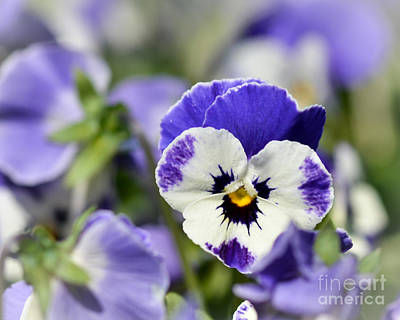 Photograph - Pansy Passion by Kerri Farley