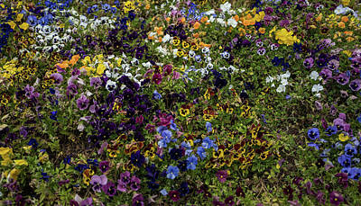 Photograph - Pansy Patch by Jocelyn Kahawai