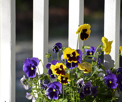 Photograph - Pansy's by Charles Bacon Jr