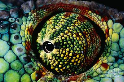 Photograph - Panther Chameleon Eye by Daniel Heuclin and Photo Researchers