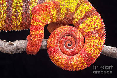 Designs In Nature Photograph - Panther Chameleon Tail by Chris Mattison/FLPA