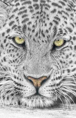 Leopard Drawing - Panthera Pardus - Leopard Close-up by Steven Paul Carlson