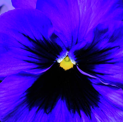 Wall Art - Photograph - Pantone Pansy by Jessica Manelis