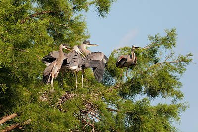 Great Blue Heron Photograph - Papa Don't Go by Benjamin DeHaven