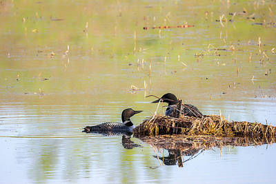 Photograph - Papa Loon Checking In by Penny Meyers