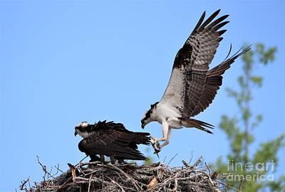 Photograph - Papa Osprey Bringing Home A Fish Dinner by Paulette Thomas