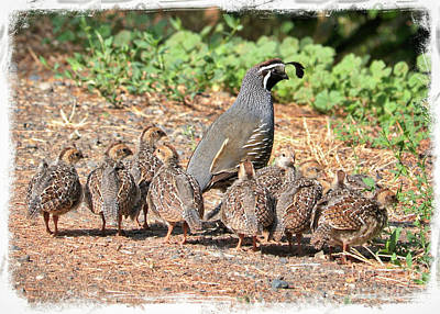 Photograph - Papa Quail With Brood by Carol Groenen