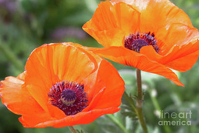 Photograph - Papaveraceae by Roselynne Broussard