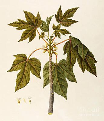 Tree Plantation Painting - Papaya by Angela Rossi Bottione