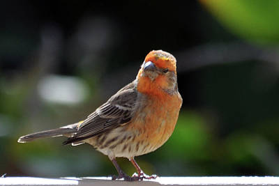 Finch Photograph - Papaya Bird by Dan McManus