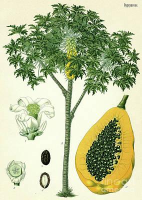 Tree Plantation Painting - Papaya  by German School