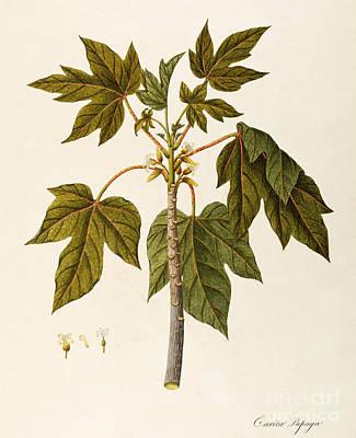 Tree Plantation Painting - Papaya Tree by Angela Rossi Bottione