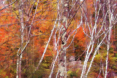Photograph - Paper Birch Blaze by Betsy Zimmerli