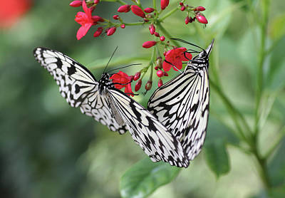 Photograph - Paper Kite Butterflies Feeding by Amelia Painter
