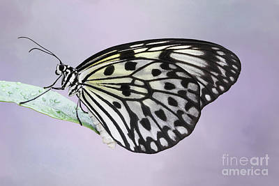 Photograph - Paper Kite Butterfly #2 V2 by Judy Whitton