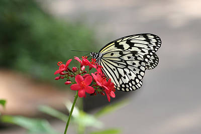 Photograph - Paper Kite Butterfly by Amelia Painter